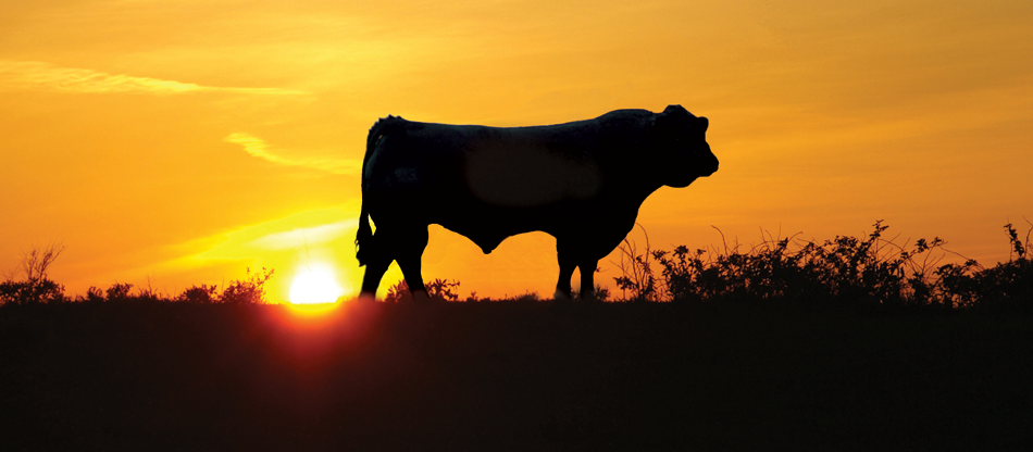 bull in sunset photo